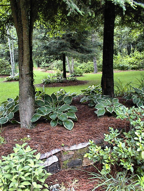 Landscaping Under A Pine Tree : To landscape under pine trees tree and how